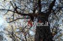 La quercia stregata