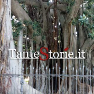 Il ficus macrophylla di piazza Marina