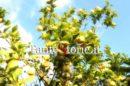 Il profumo dei limoni