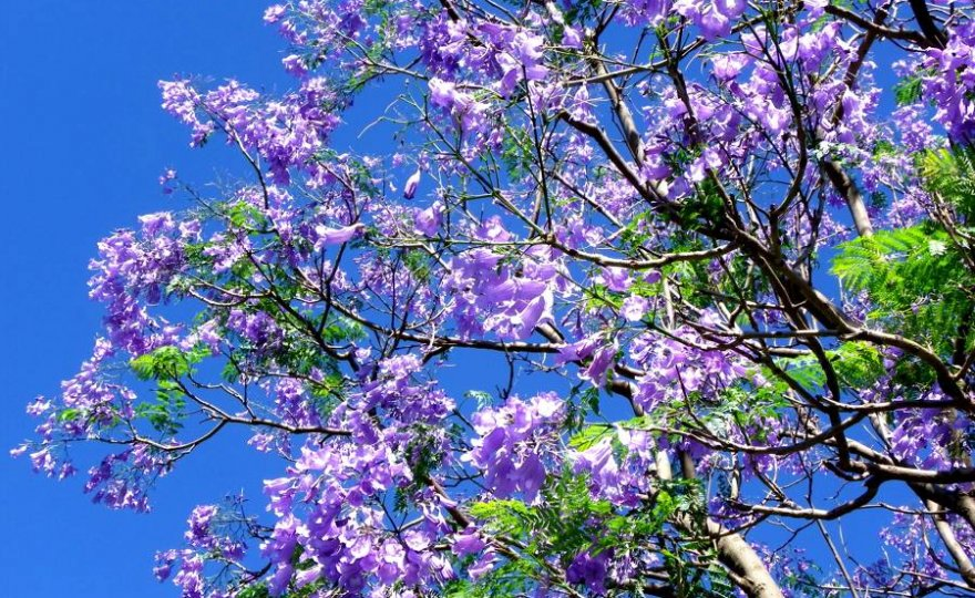 Jacaranda in fiore